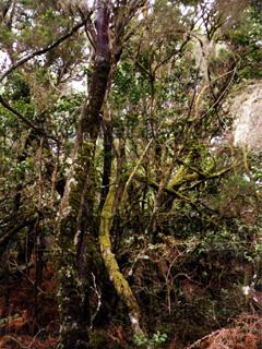 Bäume mit Moosen bewachsen im Regenwald auf der Kanarischen Insel La Gomera.