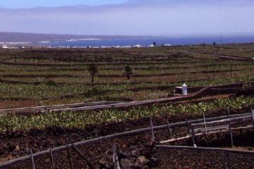 Lanzarote Kaktus -Anbau im Nordosten der Kanarischen Insel so weit das Auge reicht und nur vereinzelt eine Palme dazwischen und im Hintergrund das blaue Meer.