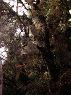 Dschungel im Nebelwald auf der Kanarischen Insel La Gomera.