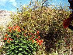 La Gomera, rot blühende Blumen vor dem Ferienhaus.