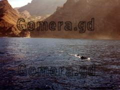 Delfine in der Bucht bei La Gomera, kanarische Inseln, Spanien vor Afrika.