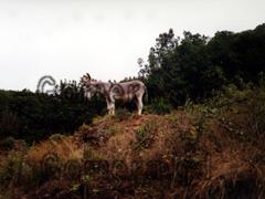 Esel auf der Kanaren Insel La Gomera. Das bekommt man beim Wandern öfters zu sehen.