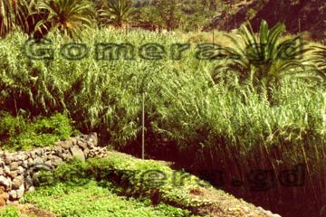 Felder in einem Tal auf La Gomera, die von den Einheimischen bewirtschaftet werden.