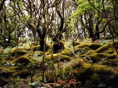 La Gomera Wanderung, Mose und Flechten zwischen den Bäumen im Regenwald.