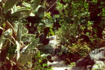 Auf dem Bild zu erkennen, die Kakteenart, die auf den Kanaren für die Produktion des natürlichen Farbstoffes genommen werden. Dieses Bild haben wir auf La Gomera gemacht.