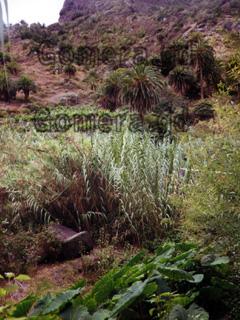 La Gomera, Palmen und Pflanzen in der Schlucht beim Trekking zum Hochplateau.