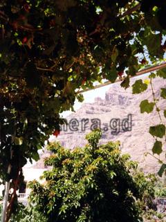 La Gomera, unterwegs auf unseren Wanderrouten im Valle Gran Rey. Weinreben unter denen man hindurch laufen kann.