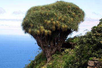 Drachenbaum auf der Kanarischen Insel La Palma, Spanien.