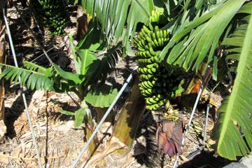 Bananenplantage auf den Kanaren und hier auf einem Feld auf der Insel La Palma Anfang März, wie man auf dem Bild erkennt mit einer ausgeprägten Bananenblüte und den fast reifen kanarischen Bananen an der Staude die der Sonne entgegen wachsen.