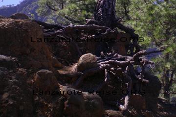 La Palma, das Bild zeigt wie sich die Baumwurzeln in das Vulkangestein graben. Das geht aber auch nur, weil die Insel so fruchtbar ist und die dazu nötige Feuchtigkeit bekommt.