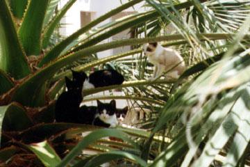 Eine Katzenfamilie sitzt zwischen den Palmblättern in der Palme auf der Kanarischen Insel Lanzarote.