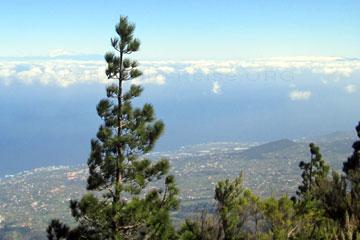 La Palma, das Bild zeigt den Berg Teide auf der Nachbarinsel Teneriffa bei einer Wanderung von einem Aussichtspunkt auf der Kanarischen Insel die so grün ist, wie man hier an der Landschaft erkennt. Links neben dem Baum, der dunklere Schatten über den Wolken ist Teneriffa, und was aussieht wie eine weiße Wolke darüber - das ist der Berg Teide.