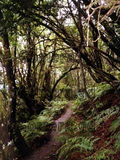 La Gomera, Wanderung durch den Regenwald im Nationalpark auf dem Hochplateau wo man zum Lorbeerwald auch Nebelwald sagt.